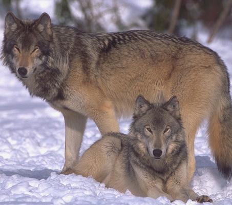 wolf036